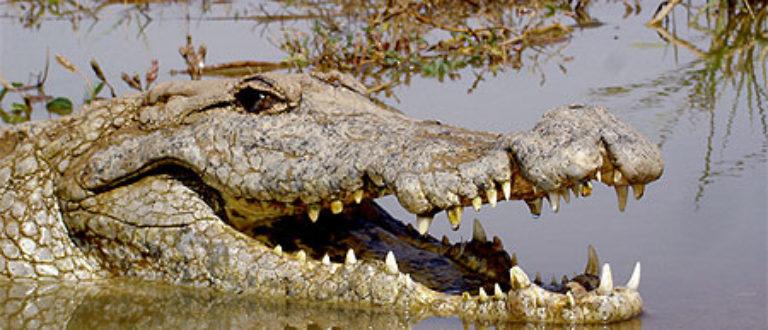 Article : Ouagadougou:  crocodiles et jardiniers chassent sur le même terrain