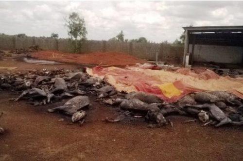 Article : Exportation de peaux d'ânes : les Chinois menacent l'espèce asine au Burkina